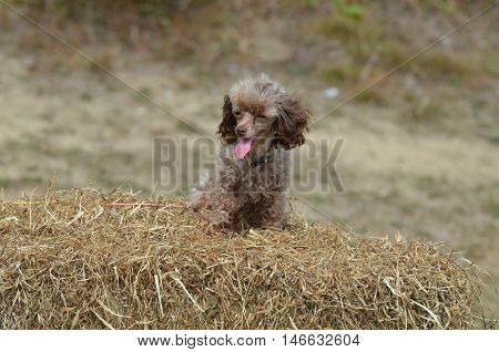 Cute brown toy poodle dog groomed and sitting on a bail of hay.