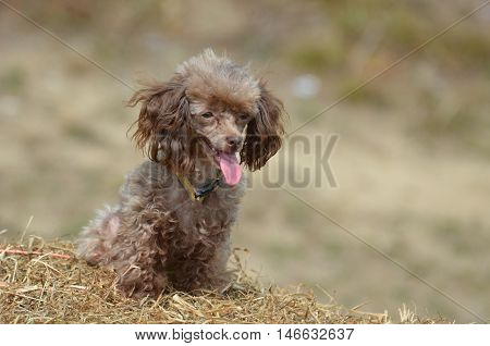Brown poodle with a cute face and a pink tongue.