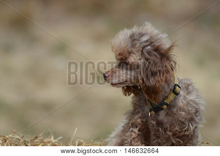 Adorable brown toy poodle on a bail of hay.