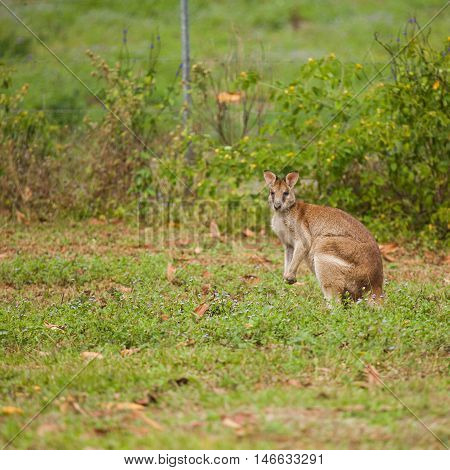 wallaby is a small- or mid-sized macropod found in Australia and New Guinea. They belong to the same taxonomic family as kangaroos and sometimes the same genus.
