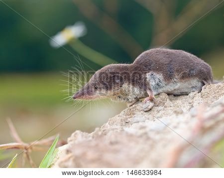 Bicolored White-toothed Shrew