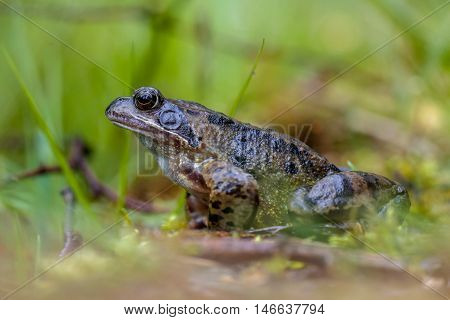 Male Common Frog