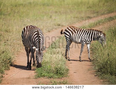 zebra on migration in wildlife. nature in Tanzania Africa.