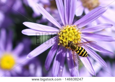 Wasp on the purple flower in the garden