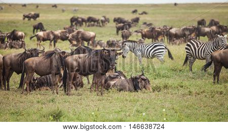 wildebeest on migration in wildlife. nature in Tanzania.