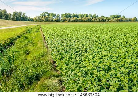 Organically grown young and fresh French bean plants in varied shades of green on a sunny day in the summer season. The blossoming of the plants has started recently.