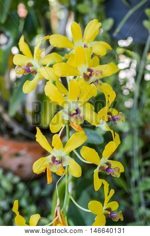 close up yellow orchid flower in garden