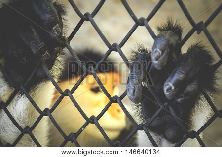 red shanked douc langur in cage , focus hand on cage