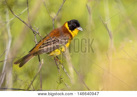 Black Headed Bunting Perched On A Branche