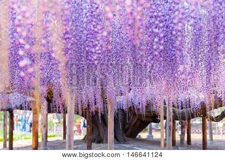 Beauty rooted in the large wisteria trellis 150 year old wisteria