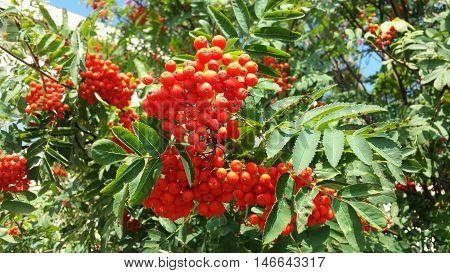 Red rowan ash berries on a tree