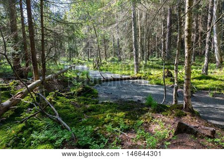Slow stream flowing across sunny coniferous stand in spring, Bialowiea Forest, Poland, Europe