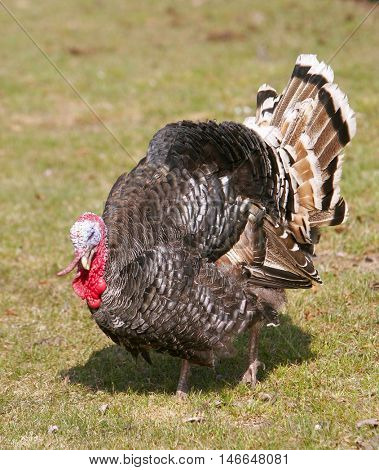 Wild Turkey Meleagris gallopavo