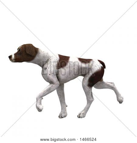 German Shorthair -