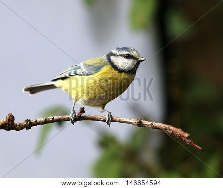 Close up of a Blue Tit perched on a branch in autumn