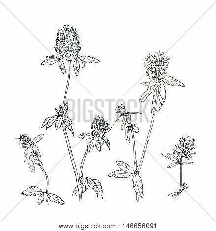 hand drawn set of graphic flowers clover trefoil on white background