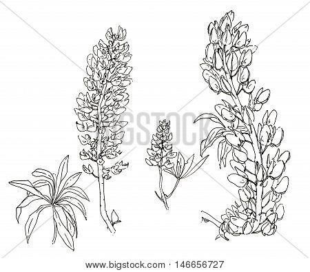hand drawn graphic flower lupine on white background