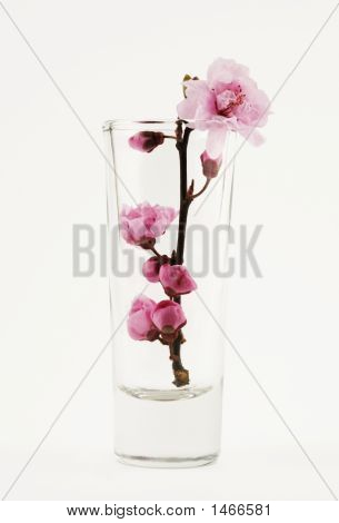 Sakura In The Glass