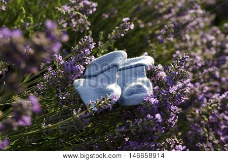 Lavender field and baby boy socks on a stem