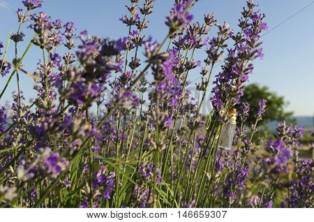 Lavender stem with essential oil in the field