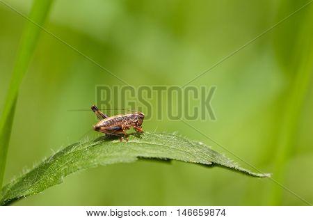 Grasshopper Larva On Green Leaf