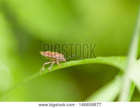 Macro Of Shield Bug