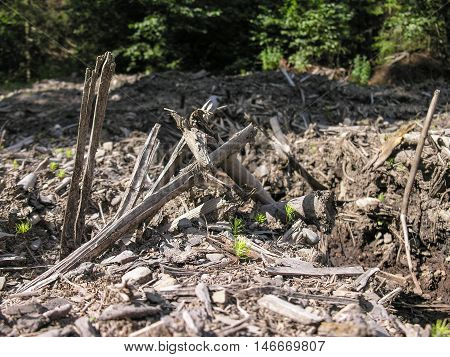 Slivers , twigs, bark residues mixed with the ground - traces logging in the forest