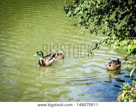 three mallards swimming in green pond during migration