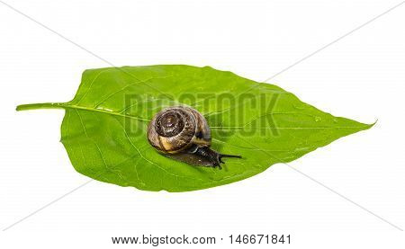 Slowly crawling on green leaf small brown snail