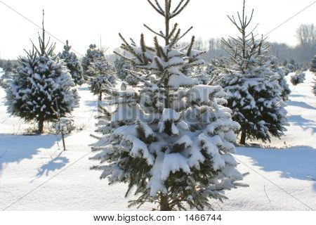 Fresh Snow On The Pine Trees On The Farm