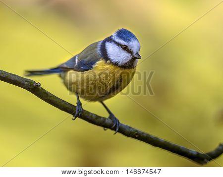 Blue Tit Autumn Concept