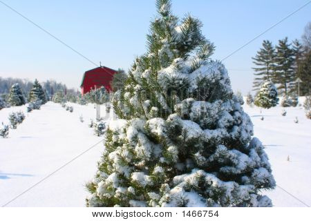 Fresh Snow On The Pine Trees On The Farm