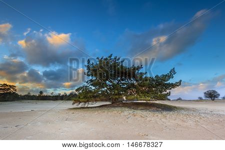 Pine Tree In Drifting Sands Area