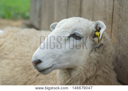 white sheep lying down in front of a gray barn