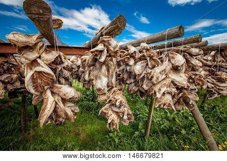 Lofoten islands fish heads drying on racks