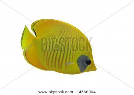 Masked Butterflyfish (chaetodon Larvatus)