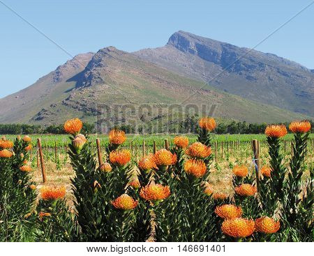 Protea Bushes, Western Cape South Africa