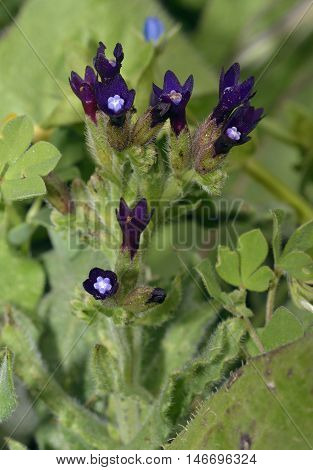 Undulated Alkanet - Anchusa undulata Dark Purple Flower from Cyprus