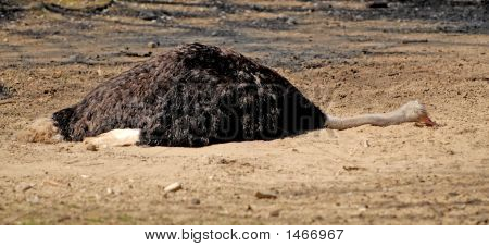 Tired Ostrich