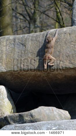 Ape Rock-Climber