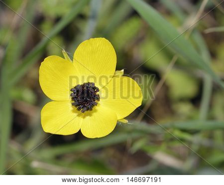 Turban Buttercup - Ranunculus asiaticus Yellow colour form