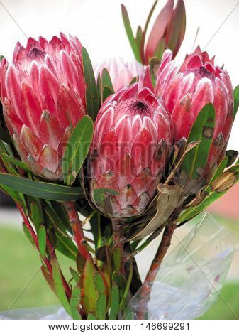 Bunch Of Proteas, From CapeTown, South Africa 01d