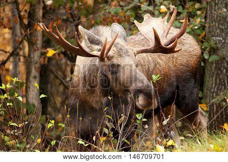 Moose Bull with big antlers, Alaska, USA
