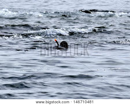 diver in wet suit and in the mask floats on the surface of the pond and looks into the water column