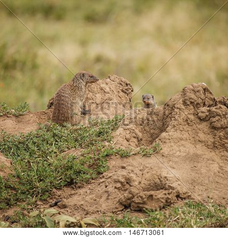 mongoose and baby in wildlife. nature in wild.