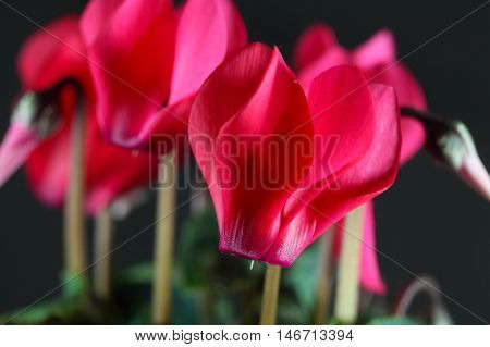 Red flower of a Persian cyclamen (Cyclamen persicum)