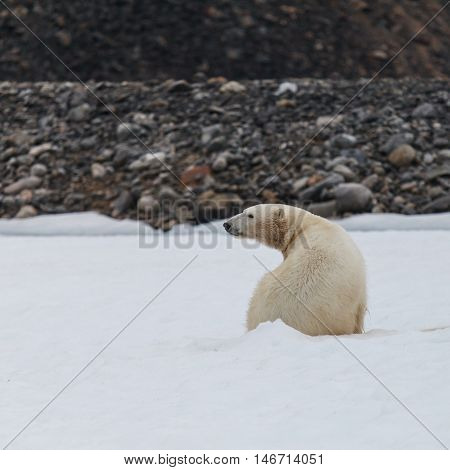 the polar bear endangered species to protect.