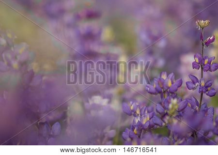 Blurred field of purple lupine with space for text