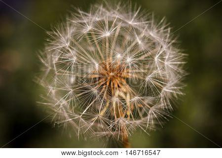 Dandelion Seedhead On Green