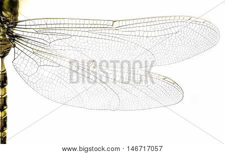 Macro of dragonfly wings and body on white background.